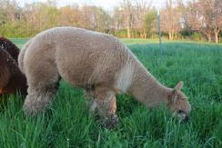 Fawn alpaca