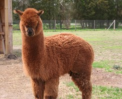 Jake the Alpaca