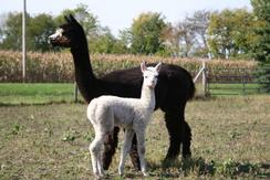 Sapphire alpaca