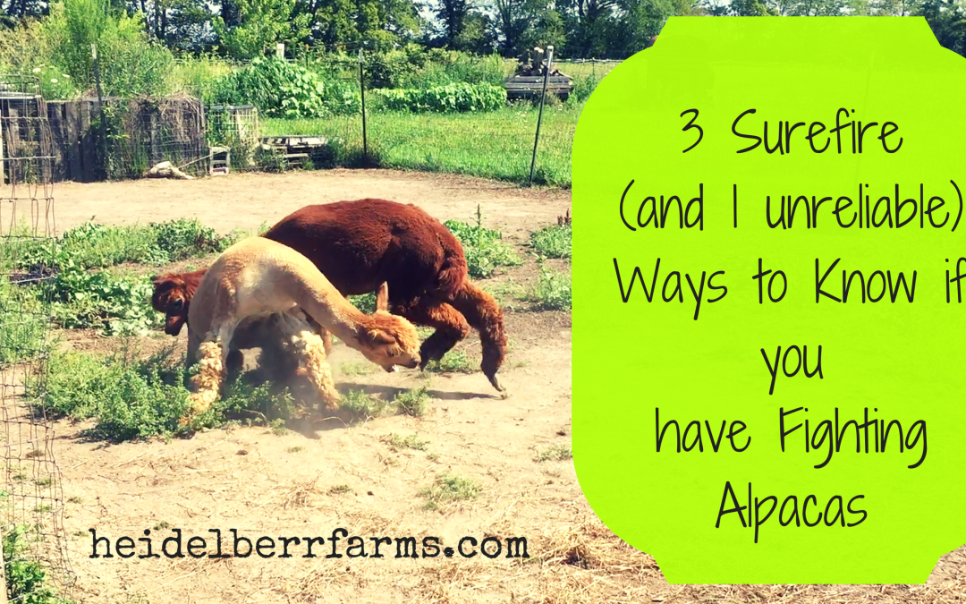 3 Surefire and 1 Unreliable Way to Tell if you have Fighting Alpacas