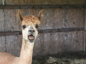 Alpaca post spit