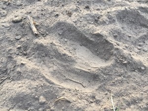 alpaca track