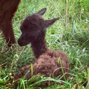 Newborn baby alpaca