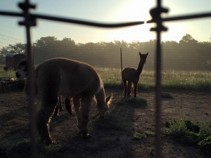 foggy morning alpacas