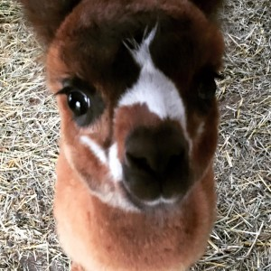 adorable baby alpaca