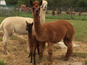 mommy, baby, and auntie alpaca