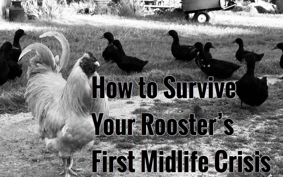 Surviving Your Rooster's First Mid-Life Crisis
